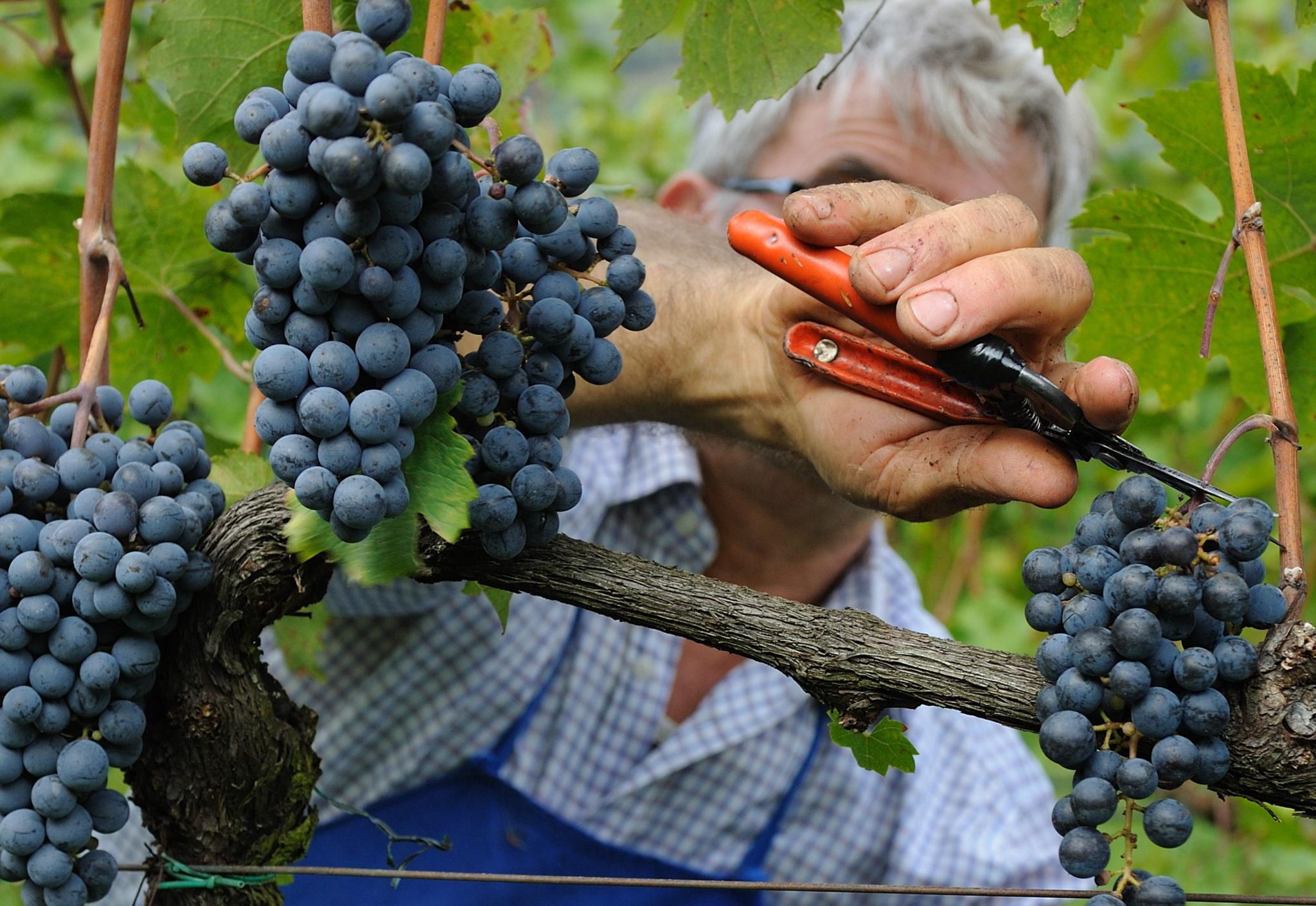 Wein Trauben Wimmen